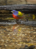 Painted Bunting  Passerina Ciris  Male