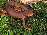 California Newt (Taricha Torosa) California  USA