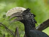 Silvery-Cheeked Hornbill Male Head  Ceratogymna Brevis  Lake Manyara  Tanzania  Africa