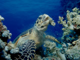 Hawksbill Sea Turtle (Eretmochelys Imbricata) Eating Soft Corals