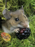 White-Footed Mouse  Peromyscus Leucopus  Eating a Berry  Ohio