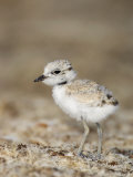 Snowy Plover (Charadrius Alexandrinus) 18 Day Old Chick Is Foraging on the Beach