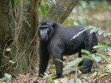 This 30 Year Old Celebes Crested Macaque (Macaca Nigra) Is Lead of a Group of 35 Apes