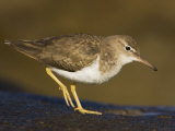 Spotted Sandpiper  Actitus Macularia  California  USA