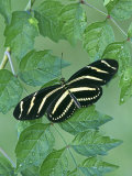 Zebra Longwing Heliconian Butterfly (Heliconius Charitonius)  Family Nymphalidae  Florida  USA