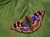 Female Lesser Purple Emperor Butterfly (Apatura Ilia)  Family Nymphalidae  Japan