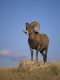 Bighorn Sheep Ram  Ovis Canadensis  Yellowstone National Park  Montana  USA