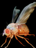Fruit Fly  Drosophila Melanogaster  an Important Laboratory Organism in Genetics