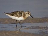 Semipalmated Sandpiper  Calidris Pusilla  North America