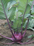 Kohlrabi Growing in Soil  Early Purple Vienna Variety