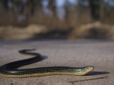 Eastern Glass Lizard (Ophisaurus Ventralis)  a Species of Legless Lizard  North America