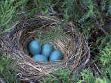 Robin Nest with Eggs  Turdus Migratorius  USA