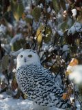 Snowy Owl (Nyctea Scandiaca)  Canada