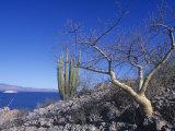 Elephant Tree or Torote  Bursera Microphylla  Sea of Cortez  Baja California  Mexico