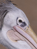 Close Up Portrait of a Pelican