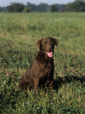 Chocolate Labrador Retriever Variety of Domestic Dog