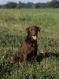 Chocolate Labrador Retriever Variety of Domestic Dog