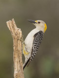Golden-Fronted Woodpecker  Melanerpes Aurifons  Female  Texas  USA