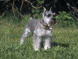 Miniature Schnauzer Variety of Domestic Dog