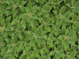 Chrysanthemum Foliage Pattern