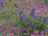 Texas Bluebonnet Flowers Among Phlox  Texas  USA