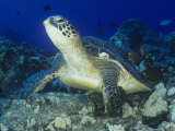 A Green Sea Turtle (Chelonia Mydas) on a Coral Reef  Kona Coast  Big Island  Hawaii  USA