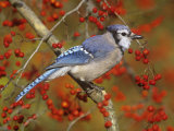 Blue Jay (Cyanocitta Cristata) in a Hawthorn (Crataegus)  Eastern North America
