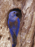 A Western Bluebird at His Nest Hole  San Gabriel Mountains  California