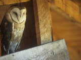 Barn Owl  Tyto Alba  on Barn Rafters  a Threatened Species  North America