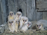 Barn Owl (Tyto Alba) Nestlings or Owlets in a Nest in a Barn  a Threatened Species  North America