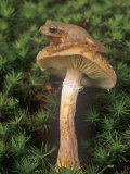 Spring Peeper on a Honey Mushroom Among Mosses on the Forest Floor  Hyla Crucifer  Eastern USA
