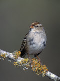 White-Crowned Sparrow in First Winter Plumage  Zonotrichia Leucophrys  North America