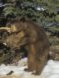 Black Bear (Ursus Americanus) Tearing a Rotten Limb in Search for Food  North America
