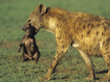Spotted Hyena  Crocuta Crocuta  Mother Carrying a Cub in its Mouth  East Africa