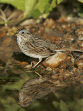 Lincoln's Sparrow at a Watering Hole  Melospiza Lincolnii  Texas  USA