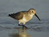 Dunlin  Calidris Alpina  Foraging  Non-Breeding Plumage  Florida  USA