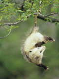 An Opossum Hangs by its Tail in Black Cherry Tree Ohio  USA