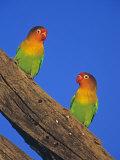 Fischer's Lovebirds  Agapornis Fischeri   Serengeti  Tanzania