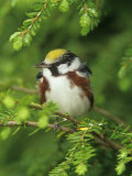 Male Chestnut-Sided Warbler in Breeding Plumage  Dendoica Pennsylvanica   USA
