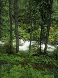 Nickel Creek Cascading Through the Forest in Mt Rainier National Park  Washington  USA