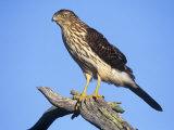 Immature Cooper's Hawk  Accipiter Cooperii  North America