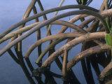 Mangrove Roots  Kapoho Hawaii  USA