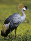 Gray-Crowned Crane  Balearica Regulorum  East Africa