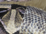 Close-Up of a Gaboon Viper Shedding its Skin  Bitis Gabonica  East Africa