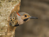 Male Northern Flicker Peering from its Nest Hole in a Tree Trunk  Colaptes Auratus  USA