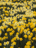 Pattern of Narcissus Flowers  Narcissus Pseudonarcissus  Louisville  Kentucky  USA