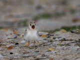 Least Tern  Sterna Antillarum  Chick Calling  USA