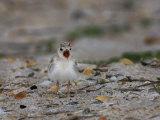Least Tern  Sterna Antillarum  Chick Calling  USA