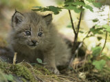 Canada Lynx Kitten  Lynx Canadensis  North America