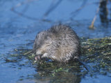 Muskrat Feeding in a Pond (Ondatra Zibethicus)  North America